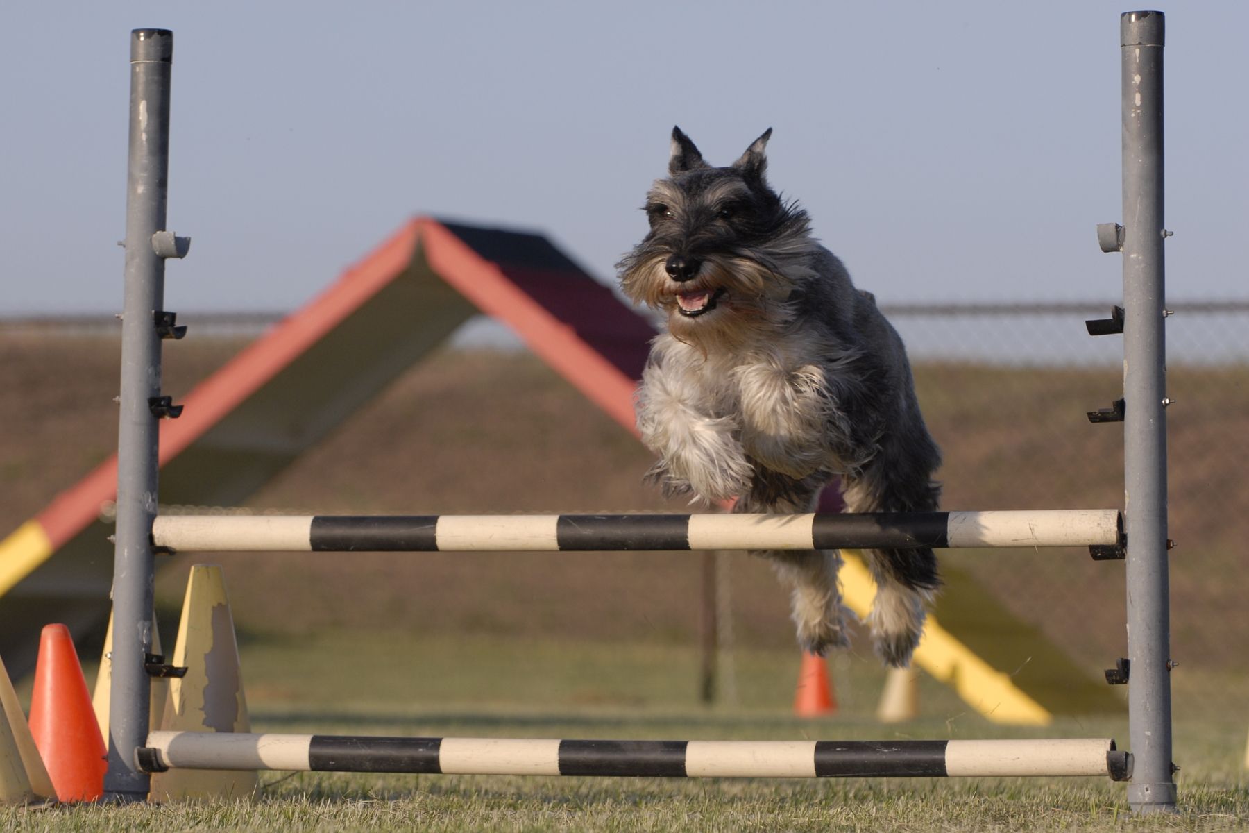 Milo Devine earned Agility titles even into his senior years.